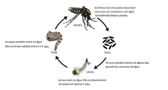 Ciclo de do Aedes aegypti e o Aedes albopictus