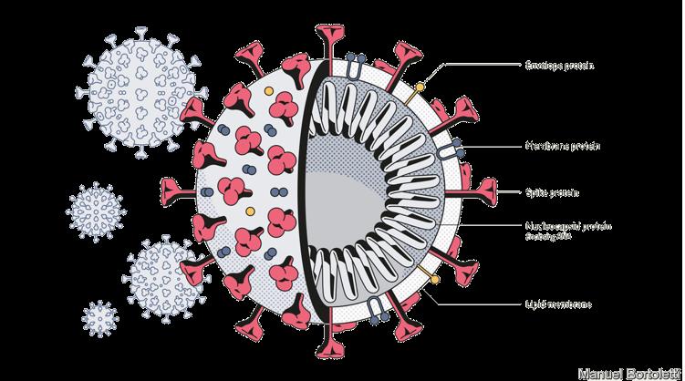 É preciso conhecer a estrutura do vírus para entender como os desinfetantes funcionam